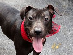 GONE - 10/9/14 Manhattan Center   My name is REINA. My Animal ID # is A1016376. I am a female black pit bull mix. The shelter thinks I am about 2 YEARS   ***$150 DONATION to NEW HOPE RESCUE that pulls!!***  I came in the shelter as a STRAY on 10/04/2014 from NY 10457, owner surrender reason stated was STRAY.  https://www.facebook.com/photo.php?fbid=883587171654163