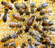 In 1997 100 queen bees from 16 different beekeepers from Primorsk were selected and purchased and placed on a bee quarantine station on the island Grand Terry in Louisiana. In the future, the U.S. government encouraged the spread of the Russian bees in commercial beekeeping companies.