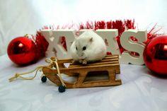 Dwarf hamster reddy for christmas