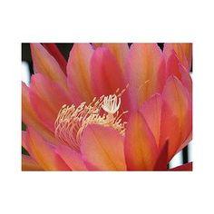 Epiphyllum 'Coral Dance' Cutting