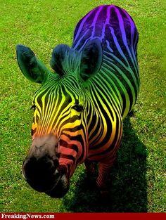 rainbow stuff | rainbow zebra photo Rainbow-Zebra--29819.jpg