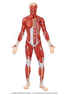 Anterior muscle anatomy
