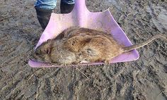 Another of huge rodent is the width of a shovel. The rat was discovered near a river in Gr...