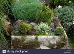 Download this stock image: Hypertufa planters with Conifers, succulents, alpines…