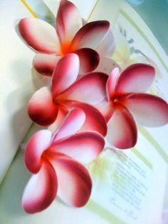 Frangipani Flowers in Pink