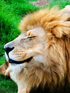 SMILING ;-)))) ---- happy #lion king