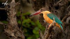 STORK BILLED KINGFISHER #Small #BirdsofPrey #BirdofPrey #Bird of Prey #LIFECommunity