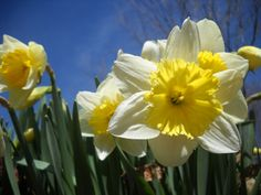Happy St. David's Day March 1st - National Day of Wales - daffodils are a Welsh symbol.