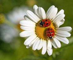 Completely beautiful photo taken by MollyBlobs found on Blipfoto! ♥ Ladybirds by noemi Beautiful Bugs, Beautiful Flowers, Cool Pictures, Beautiful Pictures, Daisy Love, Lady Bug, All Gods Creatures, Love Bugs, Flowers Nature