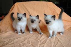 superbe chatons sacré de birmanie