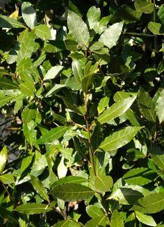 Laurel Plant, Laurus Nobilis, Plantar, Plant Leaves, Flora, Gardens, Garden, Hipster Stuff, Edible Plants