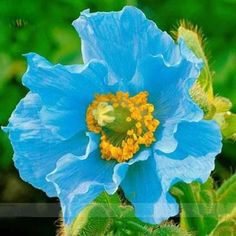 Beautiful 9 Diffe Colors Of Oriental Poppy Seed Flowers Potted 200pcs
