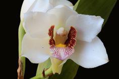 Bifrenaria harrisoniae alba - Flickr - Photo Sharing!