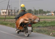 Along the road in Vietnam -- live cow on a bike.