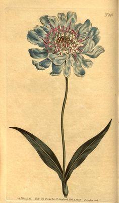 v.23-24 (1806) - Curtis's botanical magazine. - Biodiversity Heritage Library 482 x 823