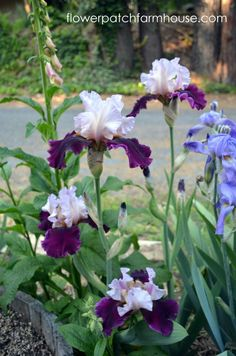 Dividing Iris. This needs to be done every 2 or 3 years…