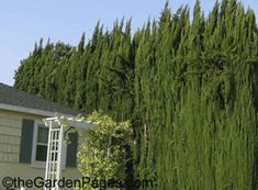 Italian Cypress trees bordering the sides and back of my house. Privacy Trees, Privacy Plants, Privacy Landscaping, Modern Landscaping, Privacy Hedge, Italian Cypress Trees, Desert Trees, Cupressus Sempervirens, Tree Borders