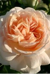 'Joie De Vivre'  (Rose Of The Year 2011- Bare Root