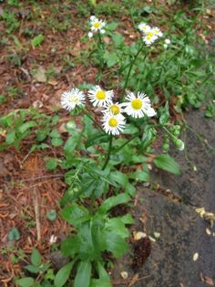 Fleabane (erigeron species): This appears to be one of the fleabanes, native wildflowers in the Sunflower family. Some are weeds, others are garden perennials. In the end,  if you can contain it to an area, leave it, but if you can't, pull it up. If you do leave it, you'll have a natural bee plant when not a lot of others are in bloom and if you remember to mow it once after it flowers so it can't set seed, you should be all right.