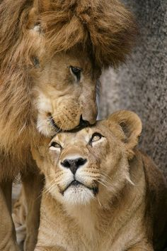 Lion Love, Cute Lion, Lion Images, Lion Pictures, Cute Baby Animals, Animals And Pets, Funny Animals, Wild Animals, Beautiful Cats
