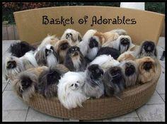 best photos, pictures and images about pekingese dog - oldest dog breeds Yorkies, Pekingese Puppies, Puppies And Kitties, Cute Puppies, Cute Dogs, Cute Baby Animals, Animals And Pets, Funny Animals, Fu Dog