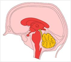 Brain Cross Section Clip Art