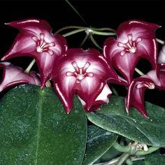 Rare Hoya Plants, Hoya Carnosa, Exotic Flowering, Rare Flowers