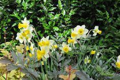 Narzissen sind die klassischen, fröhlichen Frühjahrsboten und werden von den farblich interessanten Stängeln und Blättern der Fetthenne ergänzt, die sie dann in der Blüte abwechselt. Eine hübsche Kombination! Plants, Daffodils, Weather, Plant, Planets