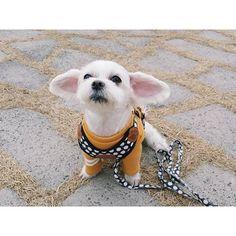 Instagram media by bbobbo.y - 하..신이시여.. 목욕은피할수없는건가요... . #접신중 #몽씨앙  #뽀찐빵 #말티즈 #멍스타그램 #독스타그램 #vscocam #일상 #dog #puppy #f4f #maltese #petstagram #instadog #instapet #pet #dogstagram #산책