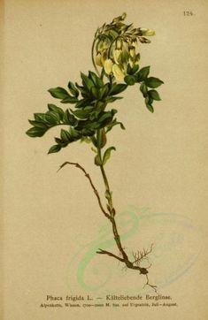 Phaca Frigida (L) - high resolution image from old book. Victorian Art, Ornament Crafts, Botany, Flora, Herbs, Clip Art, Illustration, Nature, Plants