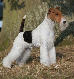 "Ch Travella Striking Steel, a top-winning wire by Ch Travella Starlord x Travella Scarlet Rose. ""Oliver"" was top dog all-breeds 2014."