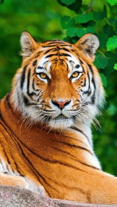 tiger, big cat, carnivore, lie, stone