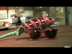 Coolest Chameleon Ever Video ... - camouflage in action!