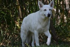 The History of the White Shepherd Dog Almost Eliminated by Society