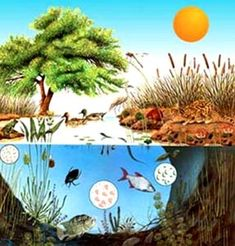 Nature Study: One Year Pond Study Plant Science, Science Nature, Pond Habitat, Ecosystems Projects, Planting For Kids, Albert Schweitzer, Permaculture Design, Pond Life, Art Corner