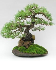 Bonsai - Scots Pine grown from seed planted through a hole in a stone in The tree expanded so much that it eventually split the rock. Planted in a Dansai pot and now in the collection of Marco Invernizzi, Italy. Indoor Bonsai, Bonsai Plants, Bonsai Garden, Ikebana, Growing Seeds, Growing Tree, Art Floral Japonais, Pine Bonsai, Bonsai Styles