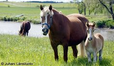 Suomenhevonen - the Finnish horse. My grandad had these when I was little. Fjord Horse, Draft Horses, Horse Breeds, Ponies, Animals, Animales, Animaux, Animal, Pony