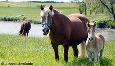 Suomenhevonen - the Finnish horse. My grandad had these when I was little.