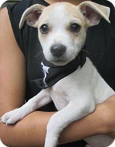 Foster, RI - Chihuahua/Jack Russell Terrier Mix. Meet Lamar....in RI!, a puppy for adoption. http://www.adoptapet.com/pet/11445037-foster-rhode-island-chihuahua-mix