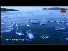 Velella velella:US west coast invaded by millions of jellyfish like creatures - YouTube