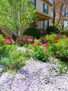 The Hill Garden With A Grand Spring Display Of Purple Moss Phlox, Phlox  Subulata,