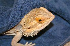 How to Give a Bearded Dragon a Bath   eHow