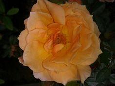 Rose 'What a Peach!'  Cute little dwarf variety.  Photo by Jan R.Fuller