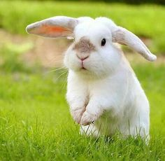 really cute bunny. Funny Bunnies, Baby Bunnies, Cute Bunny, Cutest Bunnies, Bunny Rabbits, Bunny Bunny, White Rabbits, Funny Pets, Big Bunny