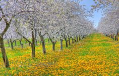 Traverse City Michigan, Cherry Orchard