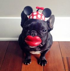 Mini mouse French bulldog