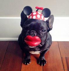 Mini mouse French bulldog