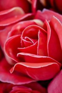 How to Make Rose Essential Oil at Home