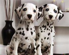 Dalmatian puppies. Bred to run for miles, the Dalmatian retains this tireless enthusiasm. It is a playful, eager companion that must get daily hard exercise in a safe area if it is expected to behave at home. It loves to run and may roam. Weighs up to 60lbs, lives 12-14yrs.
