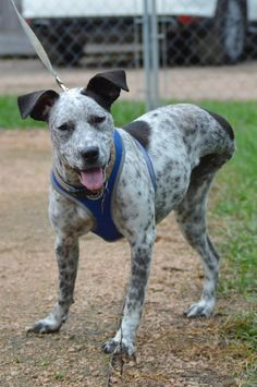 My name is Shelby, I am a German Shorthaired Pointer mix, my Est. DOB is 09/01/14 & I currently reside at Abandoned Animal Rescue in Tomball,Tx. Now onto my story. I was found left tied to a bar stool in an actual bar. I was taken in by a nice lady,got a home, got hit by a car, lost my home & a leg, then the nice lady got me into AAR. I sometimes have little tremors in my head when I get tired possibly due to distemper as a puppy but the past is the past & now I am ready to start the next…